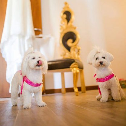 maltese wearing dog harness